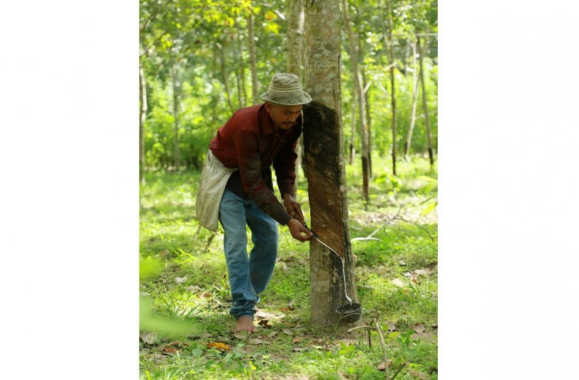 Rubber farmer tapping pure high-grade natural rubber